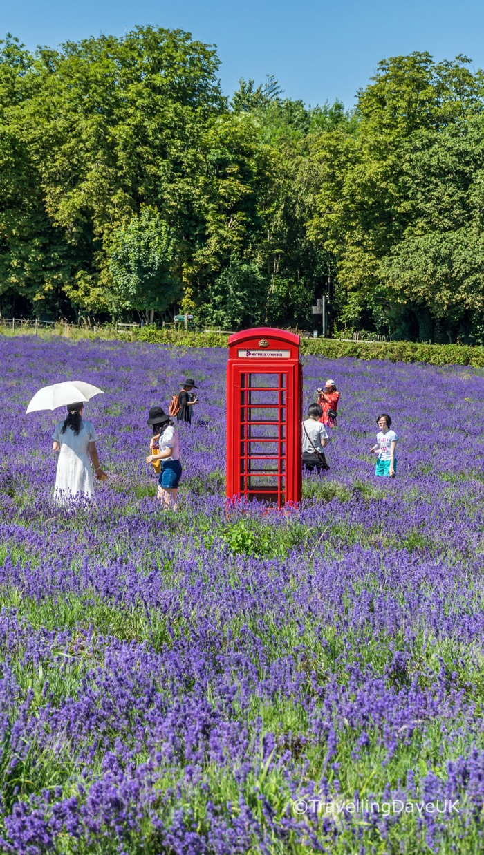 A red phone box and people in a lavender field