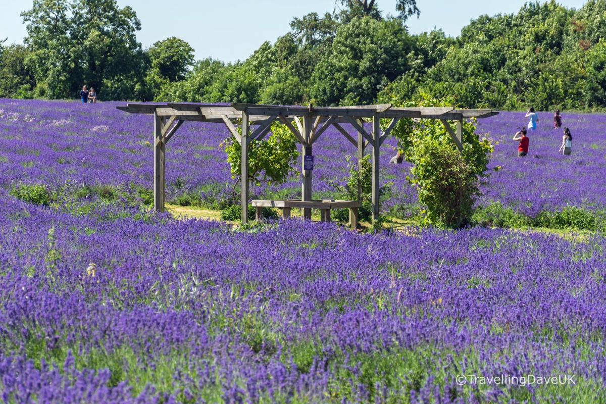 Seating area in a lavender field