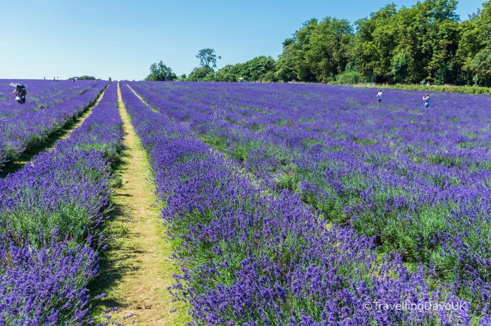 Rows of lavender in a field