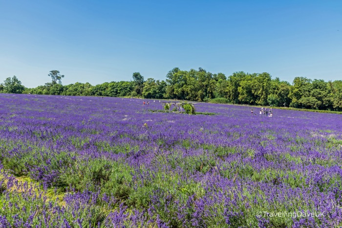 Rows of lavender in bloom