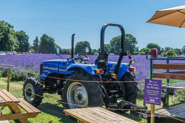 A blue tractor next to a lavender field
