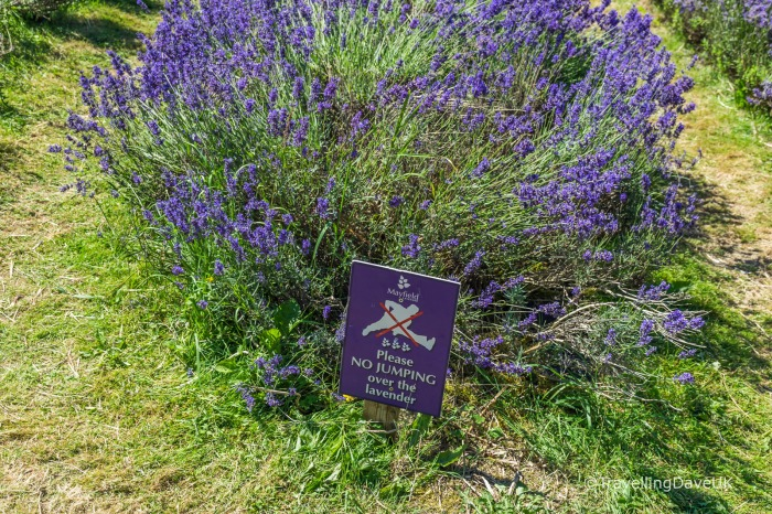 View of a warning sign in a lavender field.