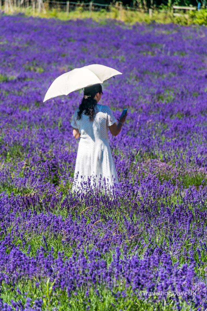 View of a lady with a white umbrella in a lavender field